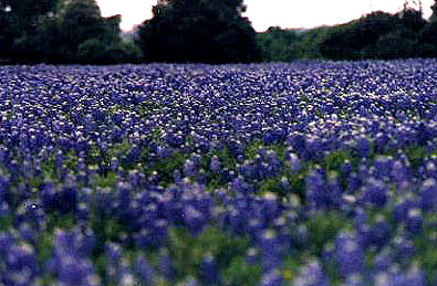 Bluebonnets from Texas