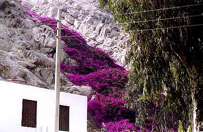 The worlds' largest bouganvilla